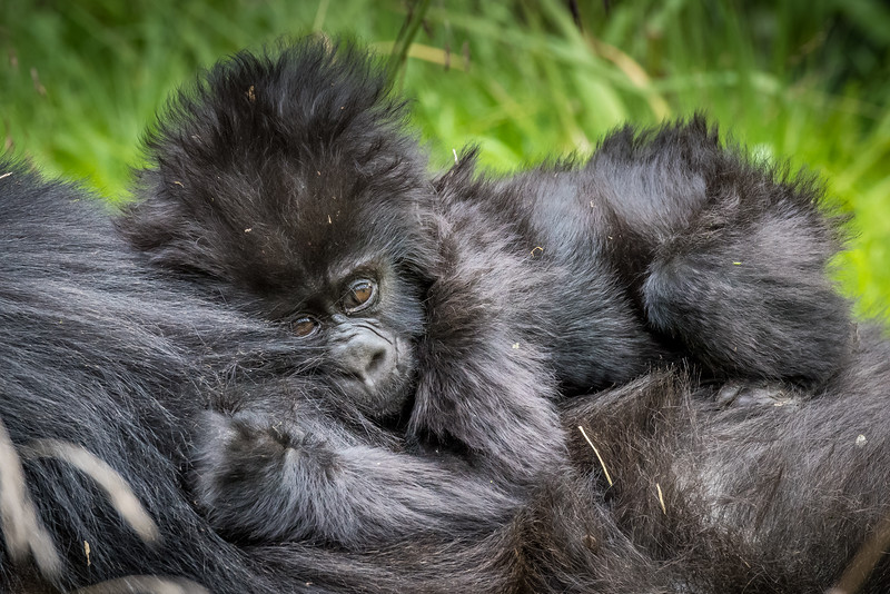 072_2014_Mountain_Gorillas-43556