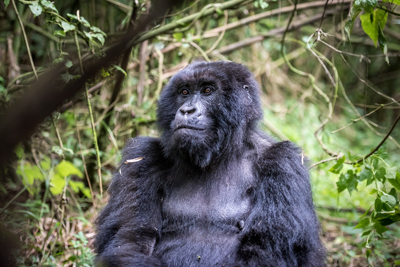 083_2014_Mountain_Gorillas-43726