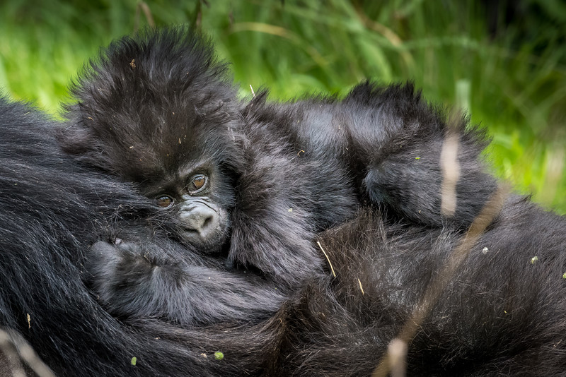 074_2014_Mountain_Gorillas-43562
