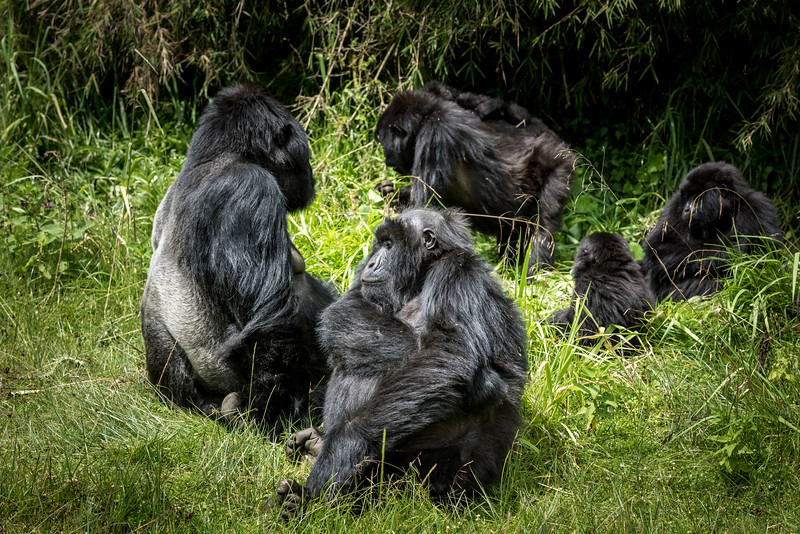 075_2014_Mountain_Gorillas-43626
