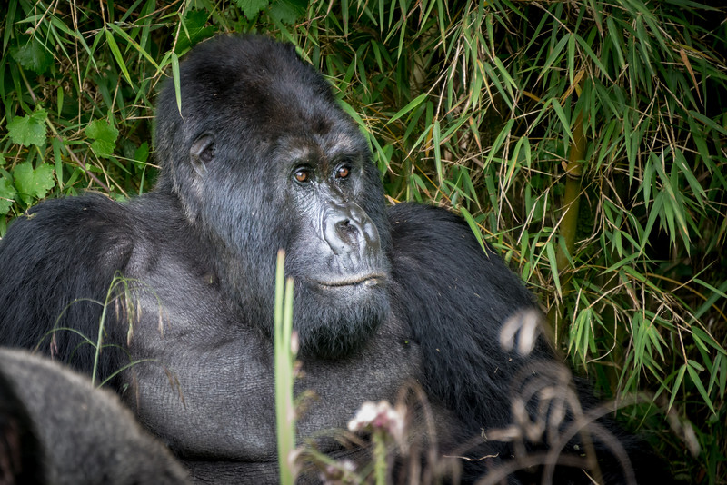 037_2014_Mountain_Gorillas-8466