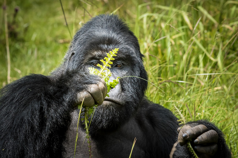 057_2014_Mountain_Gorillas-43448