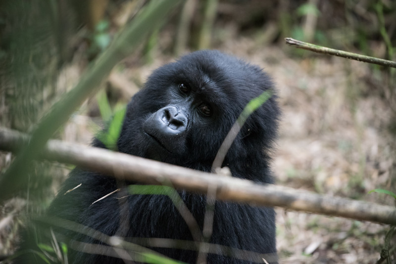 077_2014_Mountain_Gorillas-43701