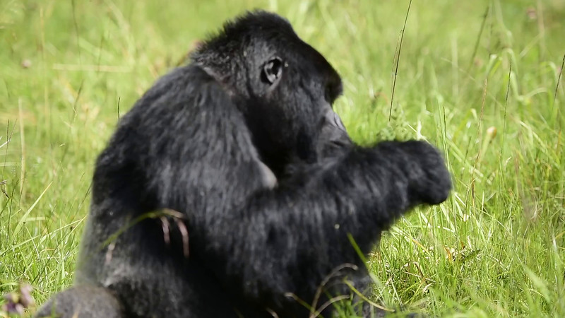 054_2014_Mountain_Gorillas-43416