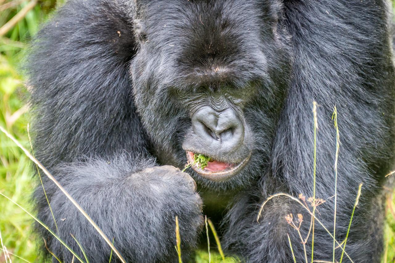 040_2014_Mountain_Gorillas-8475