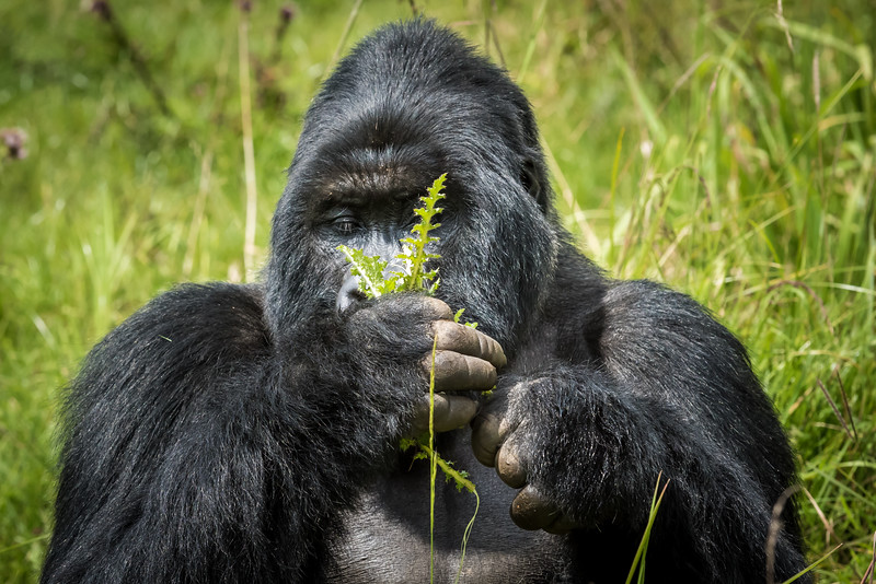 058_2014_Mountain_Gorillas-43450