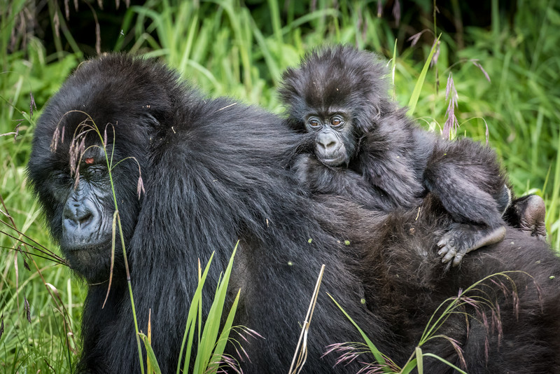 070_2014_Mountain_Gorillas-43544