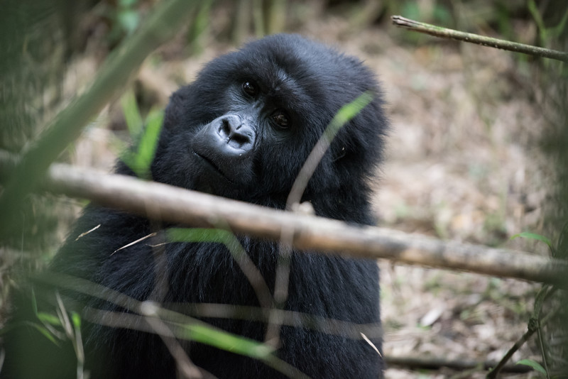 079_2014_Mountain_Gorillas-43702