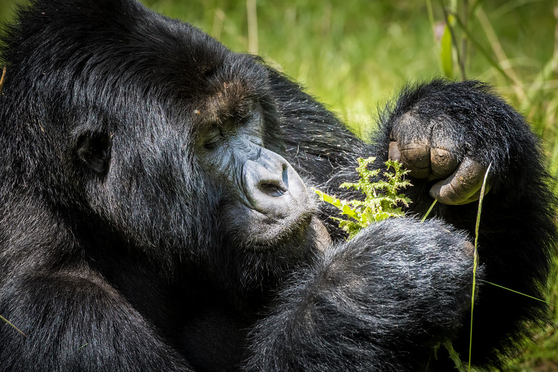 056_2014_Mountain_Gorillas-43430