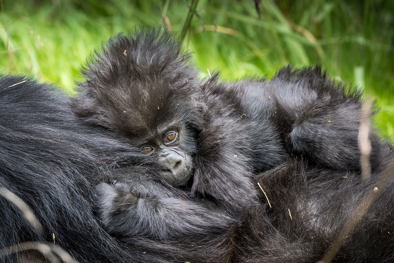 073_2014_Mountain_Gorillas-43561
