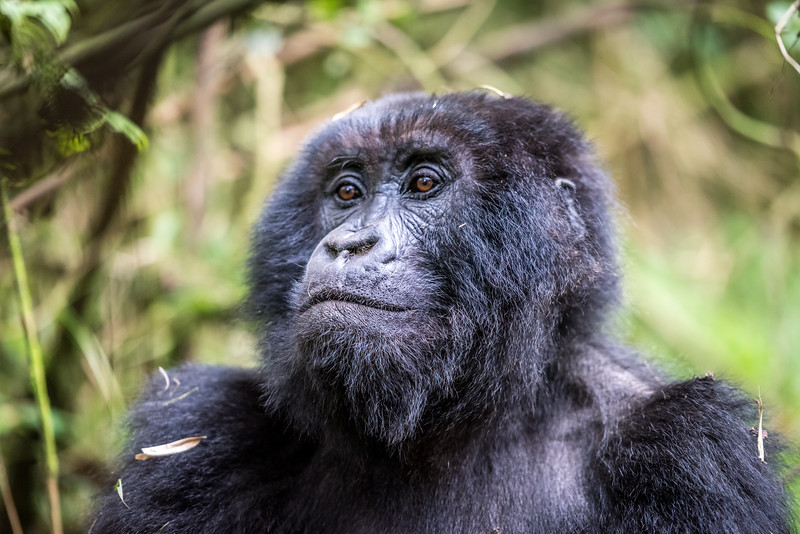 082_2014_Mountain_Gorillas-43716