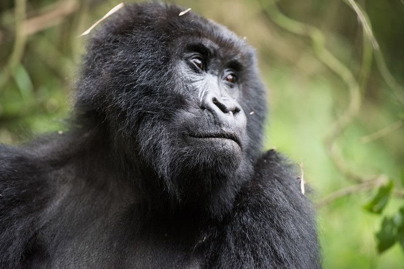 085_2014_Mountain_Gorillas-43731