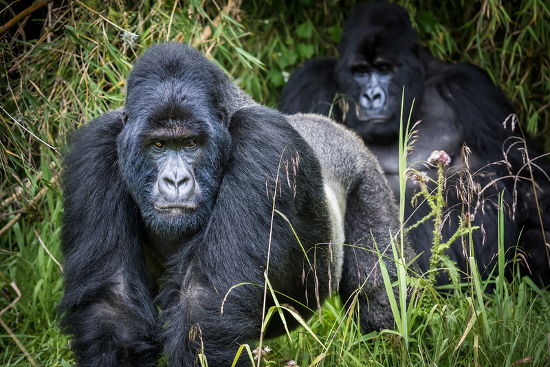 051_2014_Mountain_Gorillas-43379