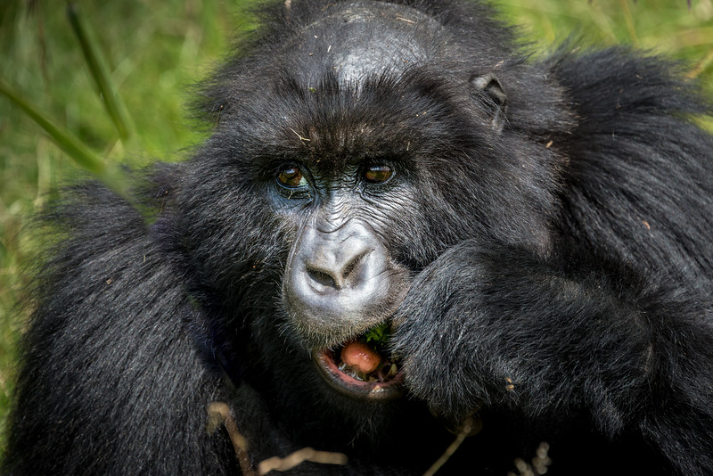 047_2014_Mountain_Gorillas-8540
