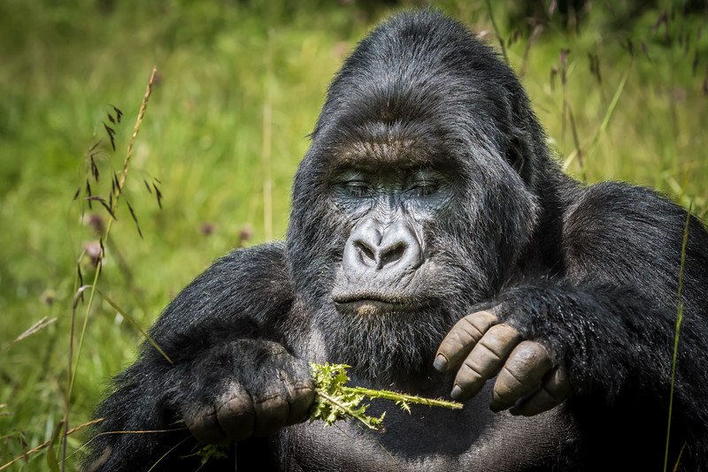 060_2014_Mountain_Gorillas-43456