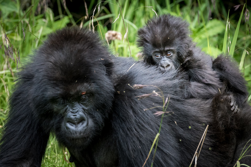 071_2014_Mountain_Gorillas-43548