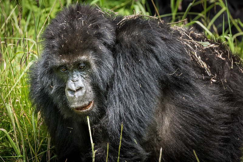 066_2014_Mountain_Gorillas-43495
