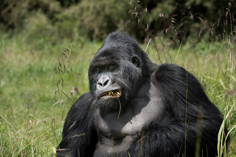 061_2014_Mountain_Gorillas-43462