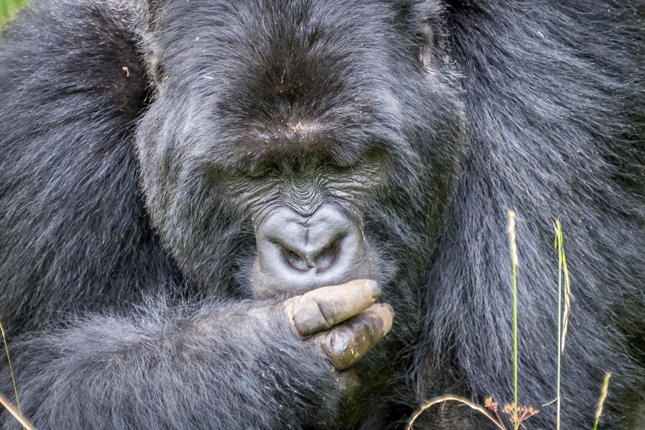 039_2014_Mountain_Gorillas-8473