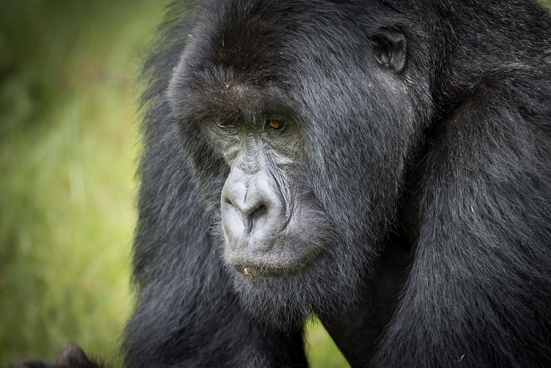052_2014_Mountain_Gorillas-43396