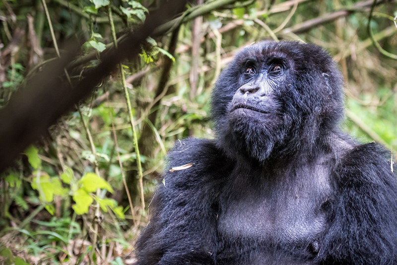 081_2014_Mountain_Gorillas-43715