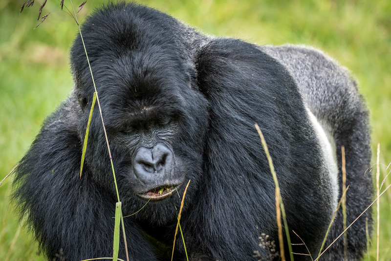 053_2014_Mountain_Gorillas-43404