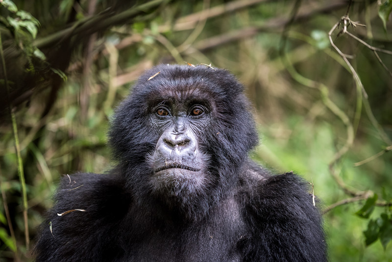 087_2014_Mountain_Gorillas-43744