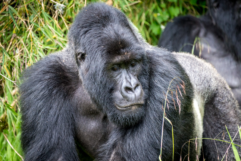 038_2014_Mountain_Gorillas-8462