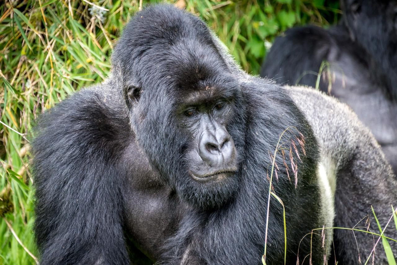 038_2014_Mountain_Gorillas-8462