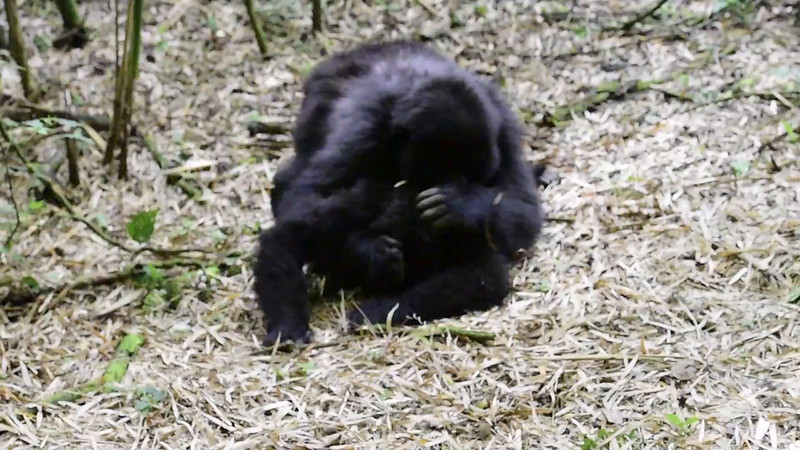 078_2014_Mountain_Gorillas-43693