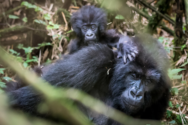 089_2014_Mountain_Gorillas-43757