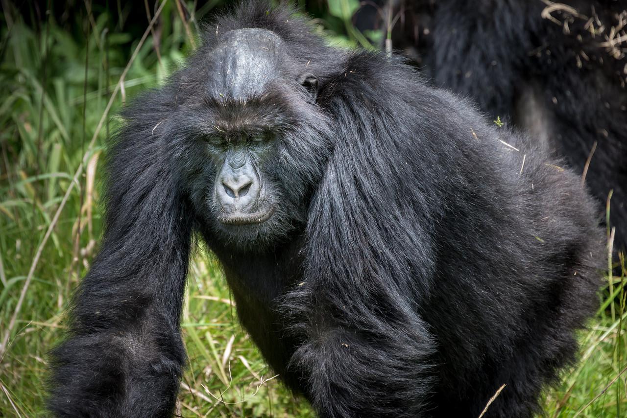 045_2014_Mountain_Gorillas-8519