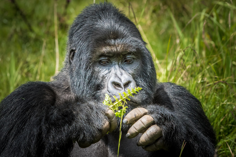 059_2014_Mountain_Gorillas-43452