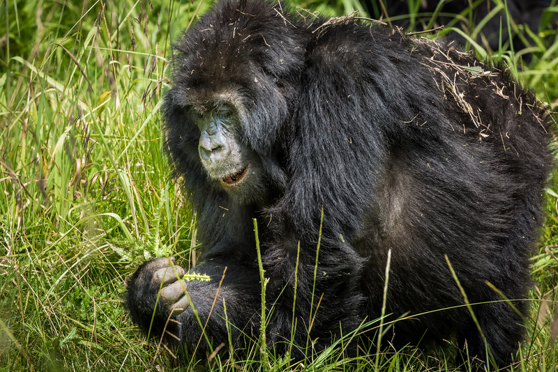 067_2014_Mountain_Gorillas-43496