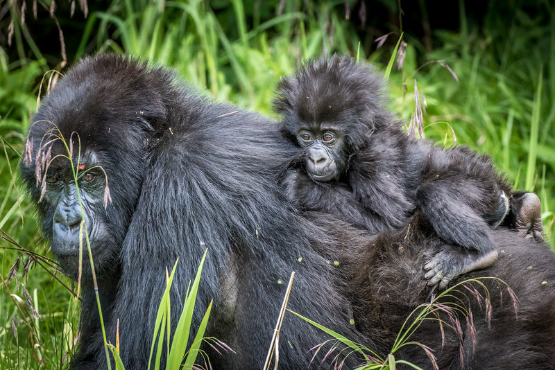 069_2014_Mountain_Gorillas-43543