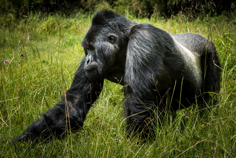 063_2014_Mountain_Gorillas-43469
