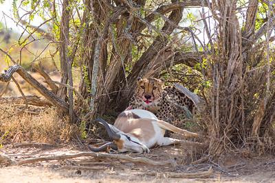 Springbok Down II