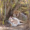 Springbok Down