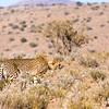 Cheetah Tracks