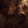 Aardvark On The Move