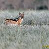 Black-Backed Jackal (Canis mesomelas), Sossusvlie, Namib NP