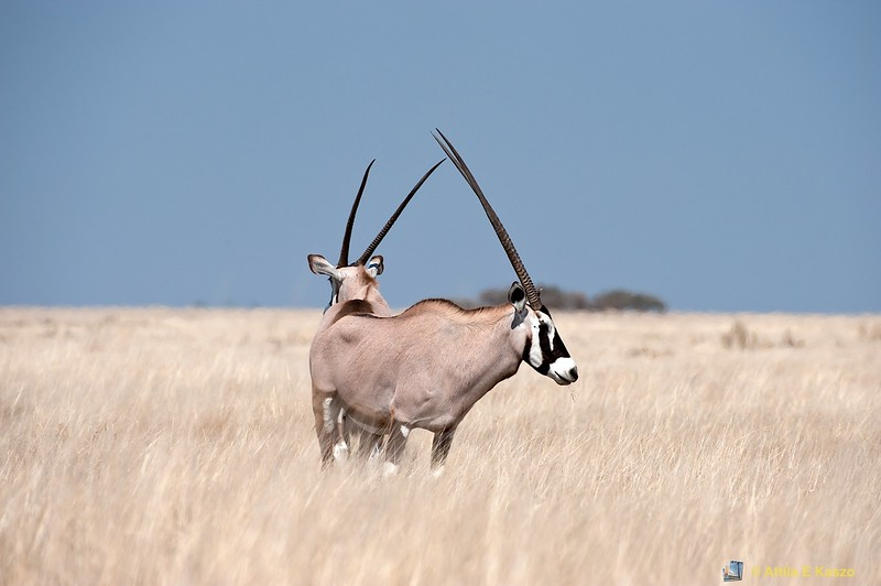 Gemsbok (Oryx gazella), Etosha NP