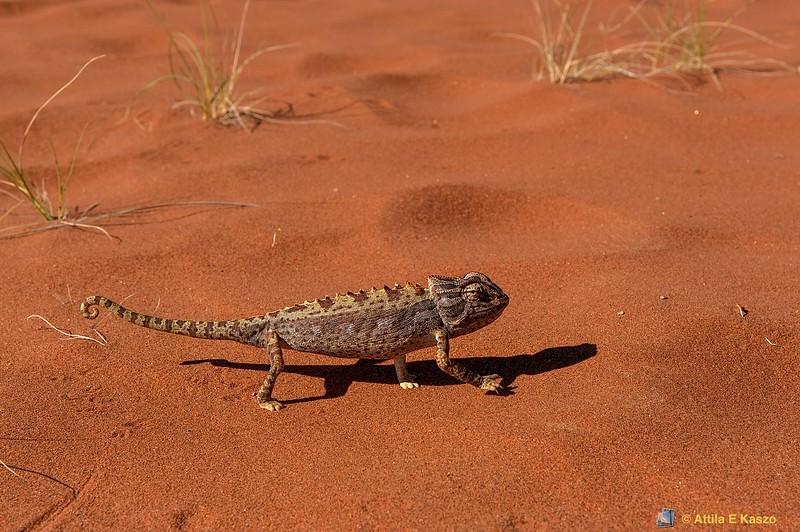 Namaqua Chameleon (Chamaeleo namaquensis), Namib NP