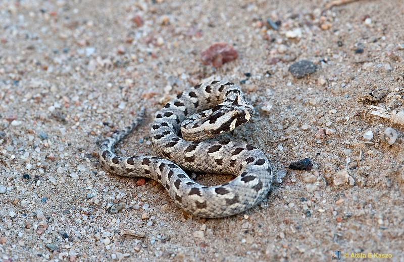 Many Horned Adder (Bitis cornuta), Swakopmund