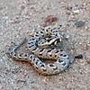 Many Horned Adder (Bitis cornuta), Swakopmund