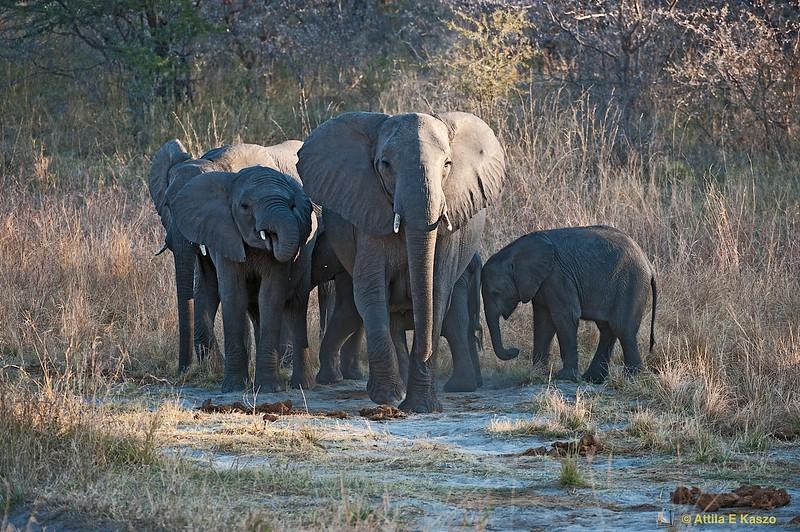 African Elephant (Loxodonta africana). Muduma/Caprivi NP