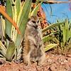 Suricate (Suricata suricatta), Brandberg Mtns.,