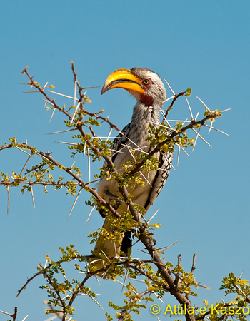 Yellowbilled Hornbill (Tockus flavirostris), Etosha NP