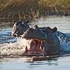 Hippopotamus (Hippopotamus amphibius), Mudumu/Caprivi NP