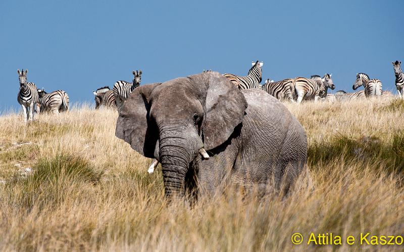 Elephant/Plains Zebra - Etosha NP